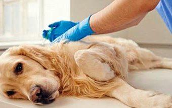 Las enfermedades de transmisión sexual en perros