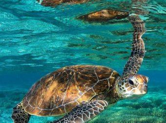 El aislamiento social favorece a las tortugas en peligro de extinción