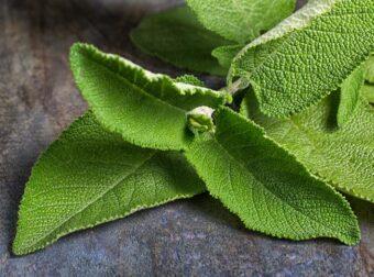 Matico: la planta medicinal mas usada contra la pandemia
